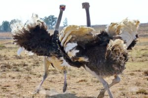 LeadQuine - Ostriches Heading it off at the Pass